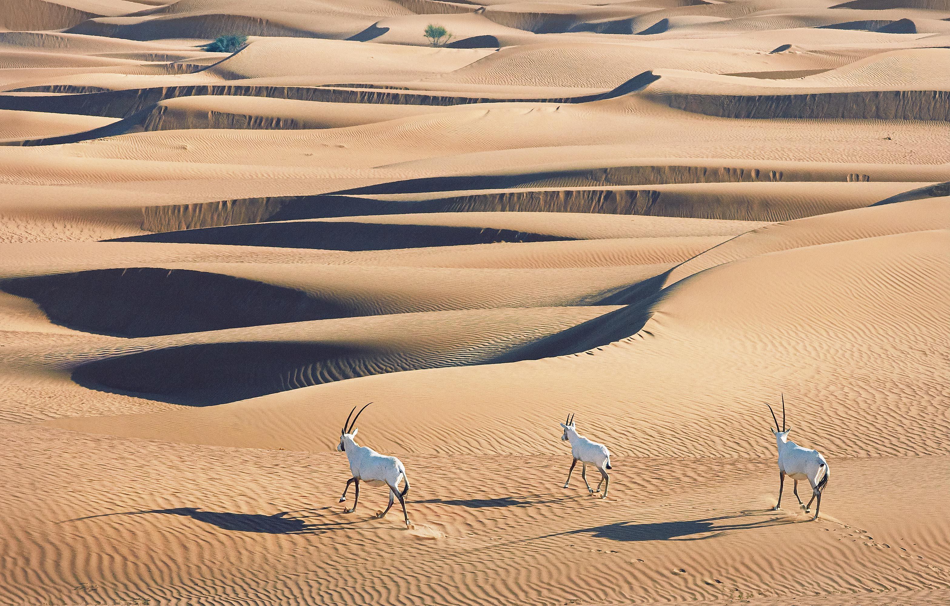 Tim_Flach_Arabian Oryx's.jpg