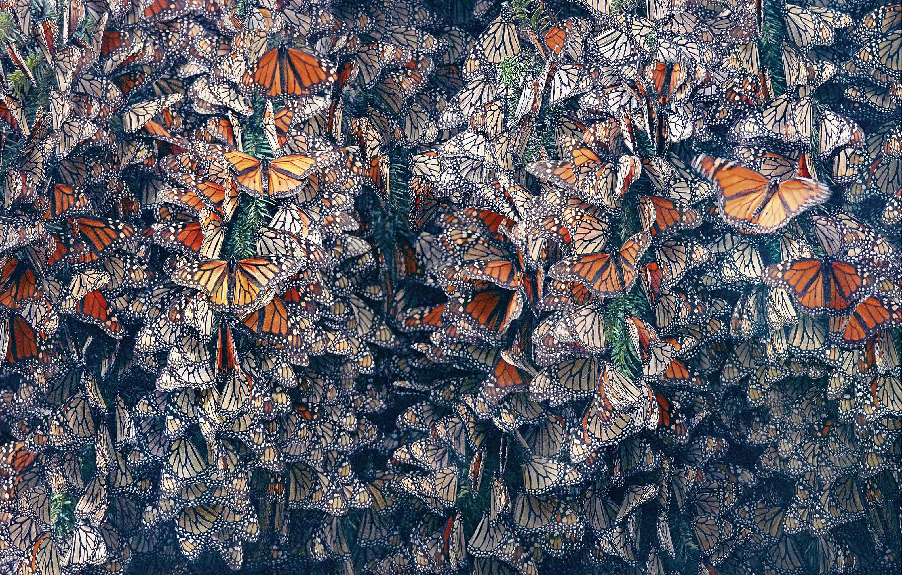 Tim_Flach_Monarch Butterflies.jpg