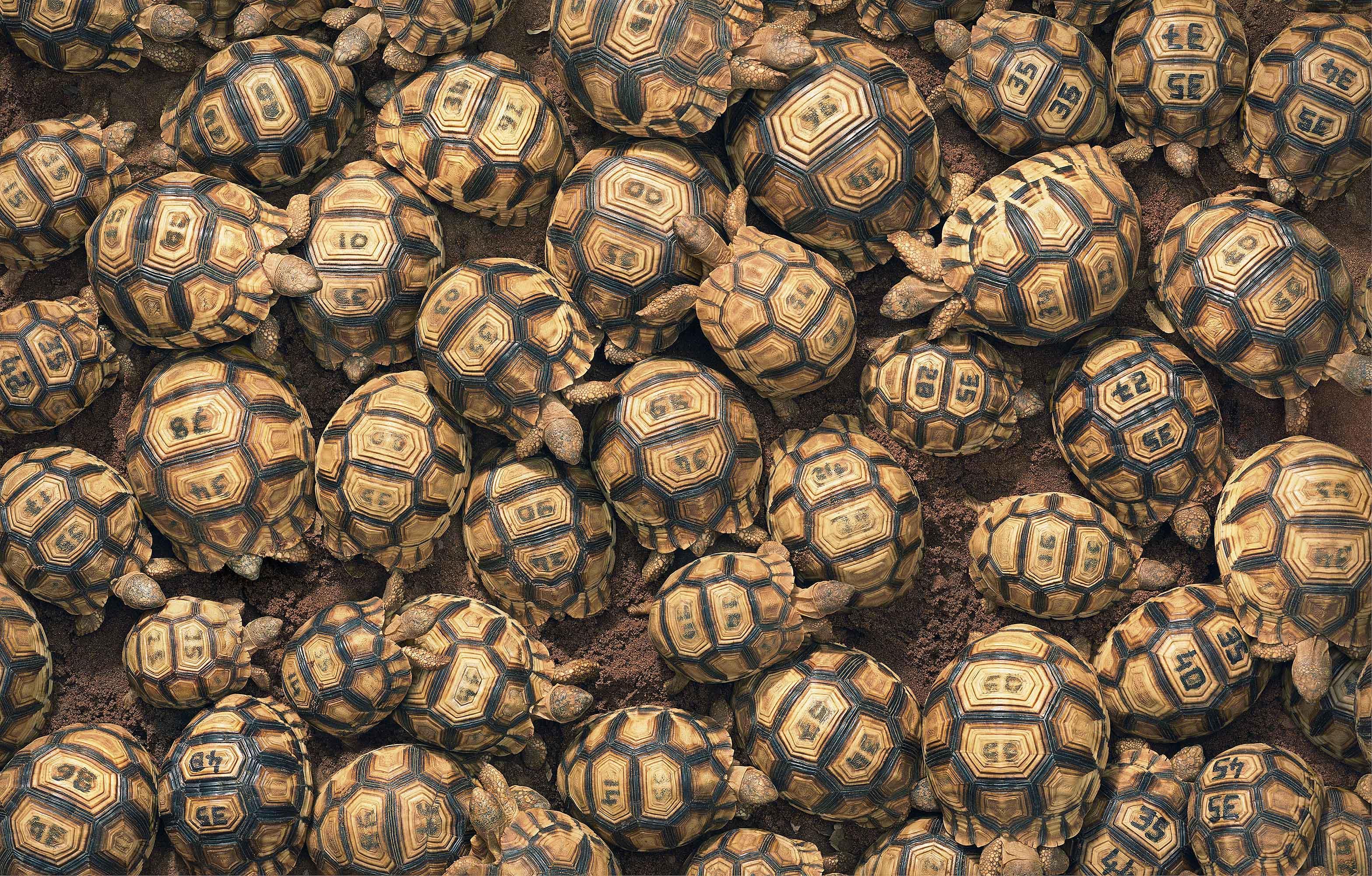 Tim_Flach_Ploughshare Tortoises.jpg