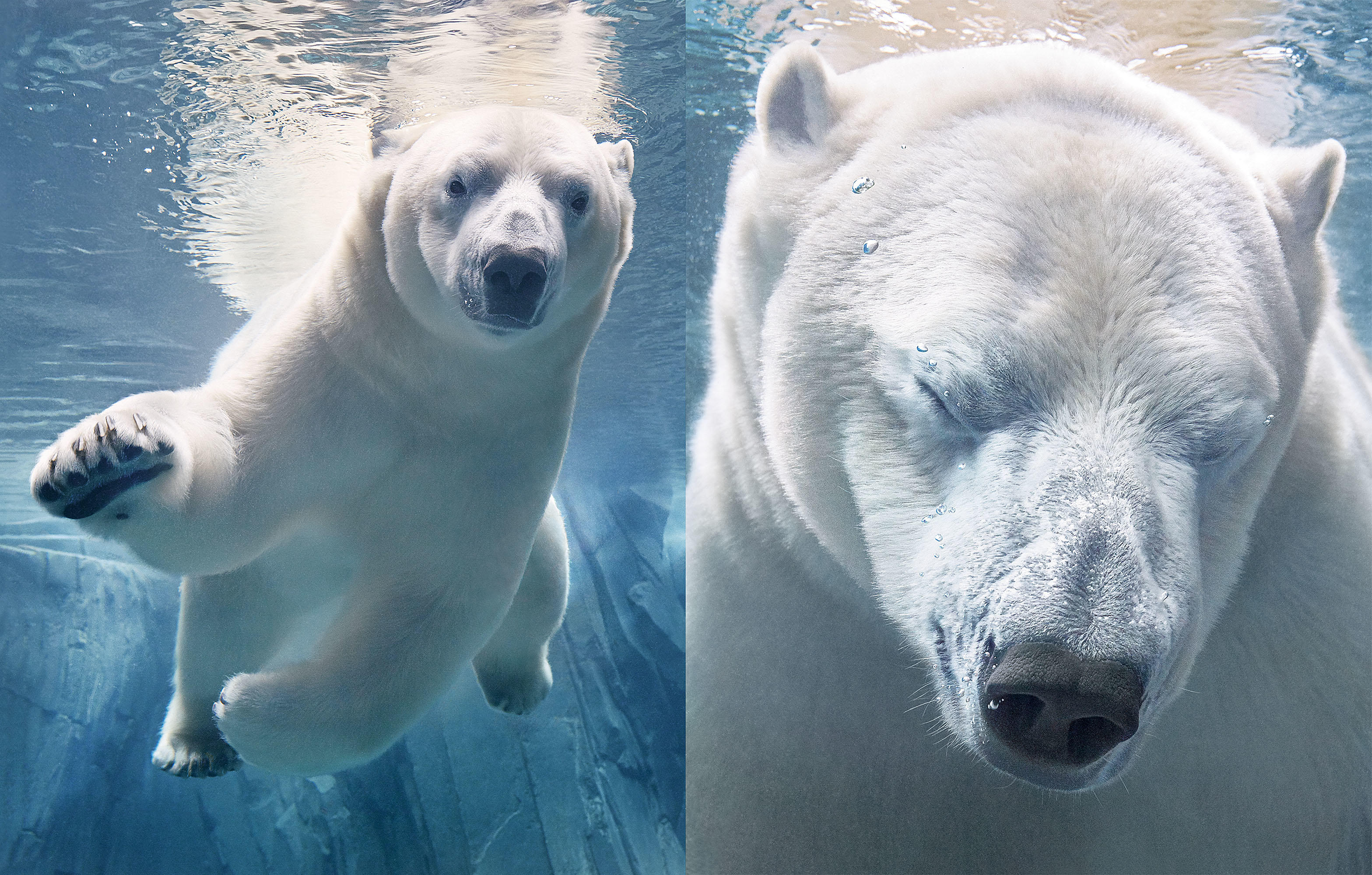 Tim_Flach_Polar Bears.jpg