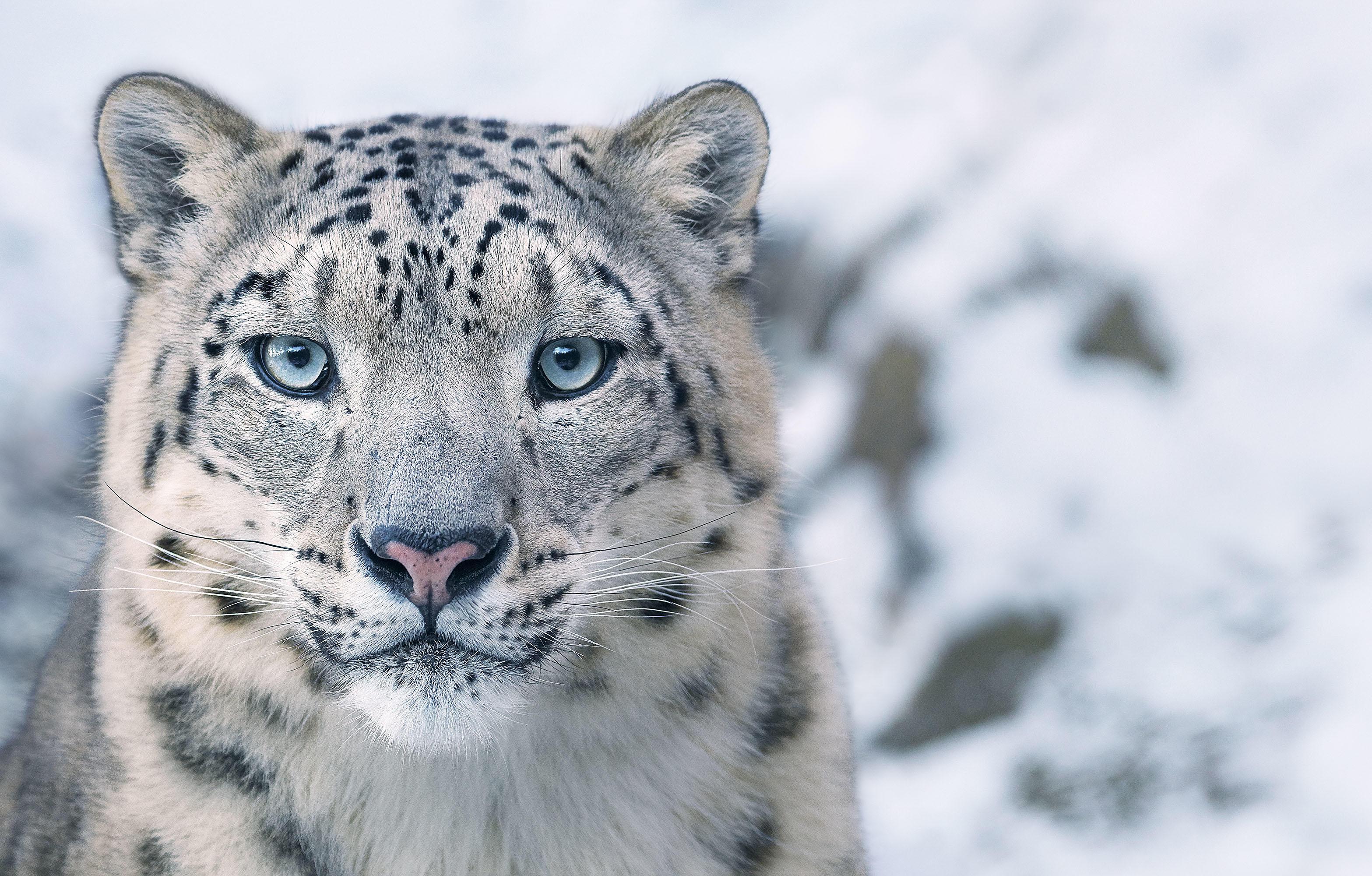 Tim_Flach_Snow Leopard.jpg